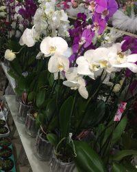 Farklı Renklerde Orkideler