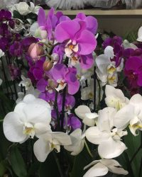Orkide 1